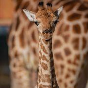 Rothchilds Giraffe   Chester Zoo