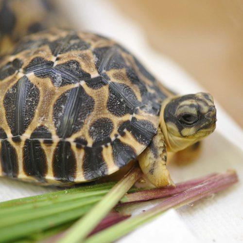 Radiated Tortoise   Chester Zoo