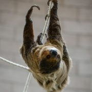 Two Toed Sloth | Chester Zoo