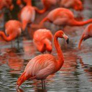 Caribbean Flamingos | Chester Zoo