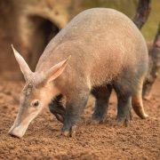 Aardvark | Chester Zoo