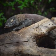 Komodo Dragon | Chester Zoo