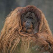 Sumatran Orangutan | Chester Zoo