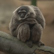 Silvery Gibbon | Chester Zoo