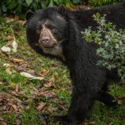 Andean Bear | Chester Zoo