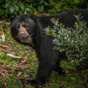 Andean Bear   Chester Zoo