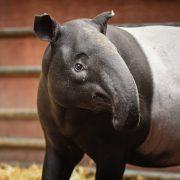 Malayan Tapir | Chester Zoo