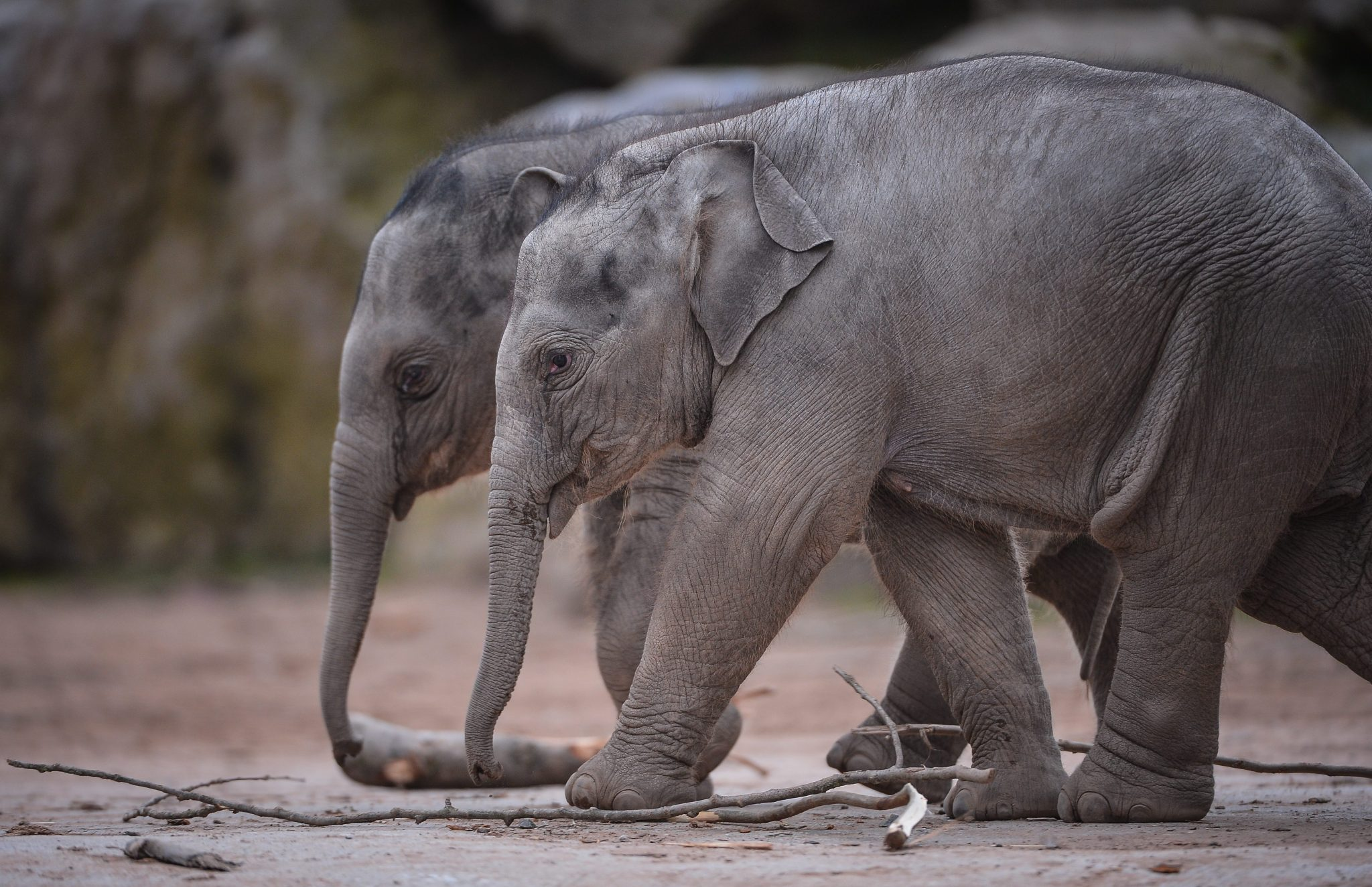 Two Asian elephant calves