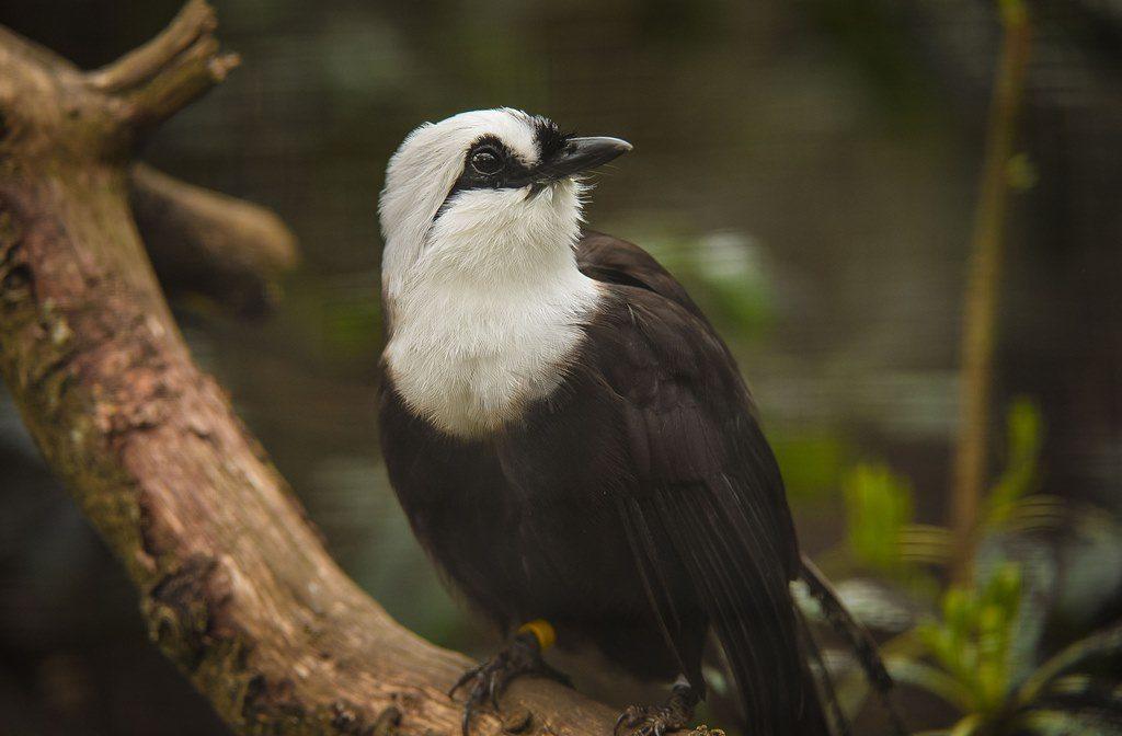 Sumatran laughingthrush - black and white bird