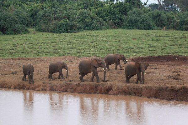 A family group of African elephants