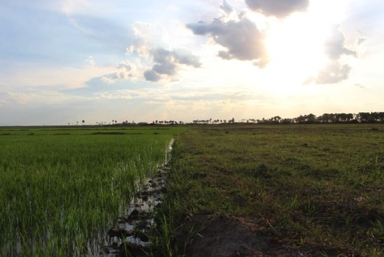 A landscape divided by rice