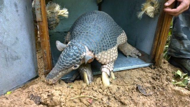 Alex the armadillo having his GPS collar fitted