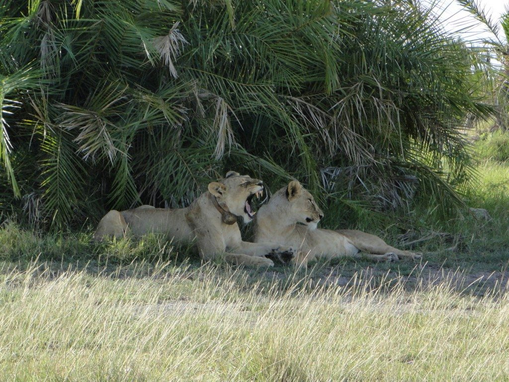 Lionesses lying in the shade