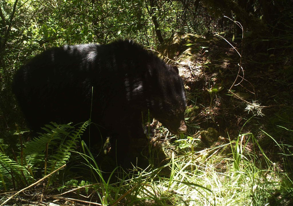 Andean bear caught on camera trap