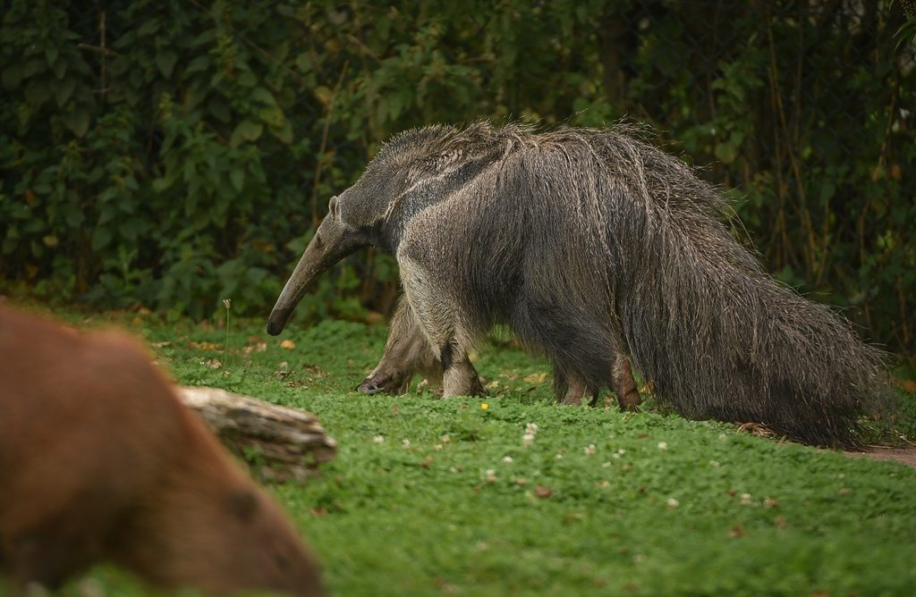 Chester Zoo anteater