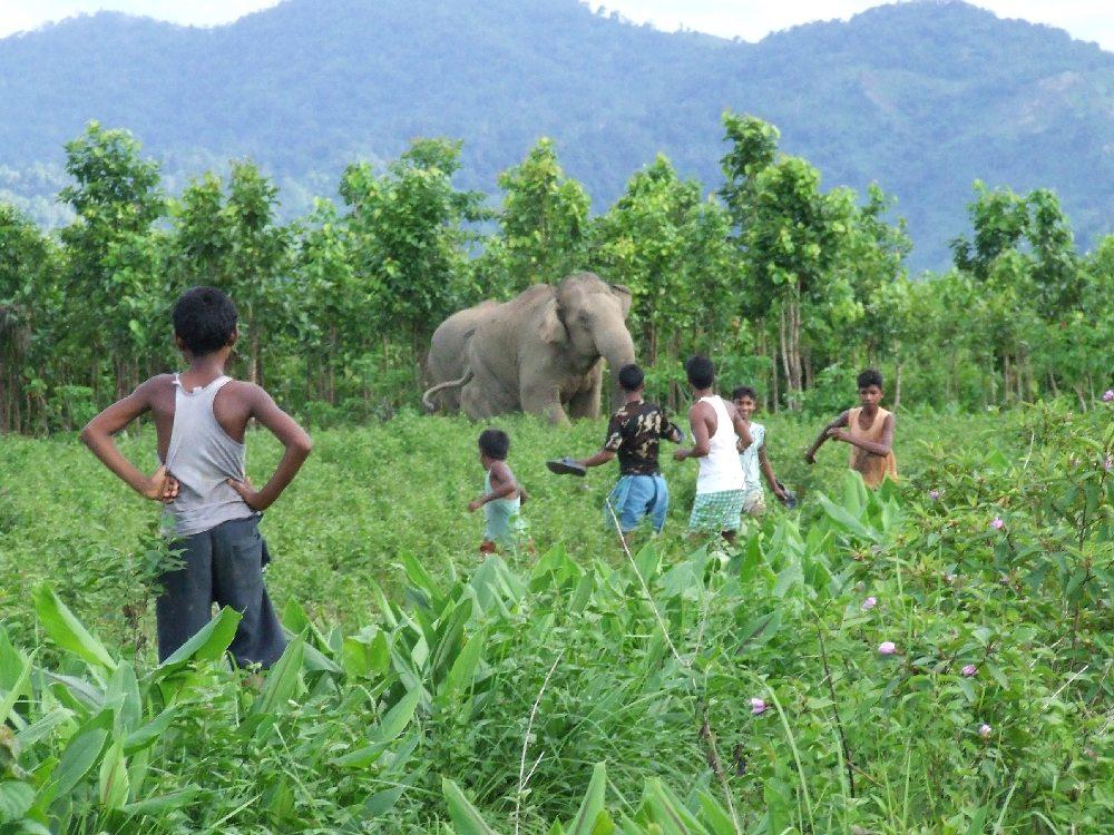 Local communities scaring herd of Asian elephants away in field of crops
