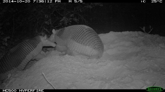 Alex the armadillo at 1 year and 3 months old