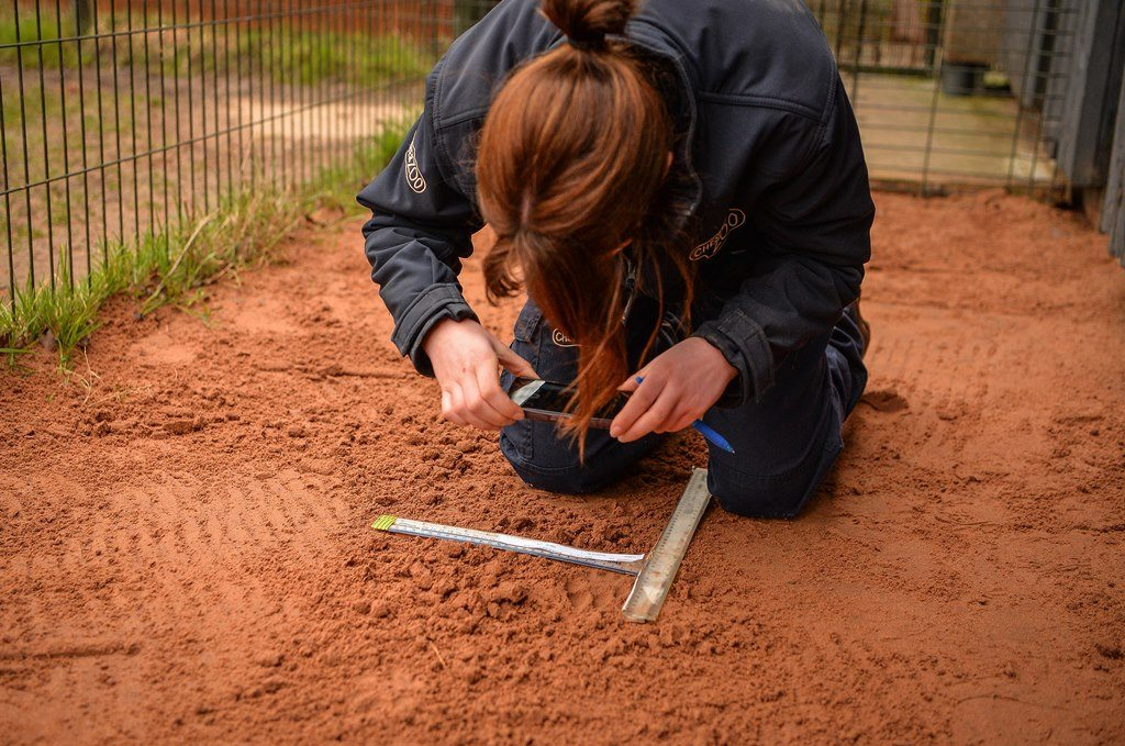 Chester Zoo staff member taking a picture of cheetah footprint