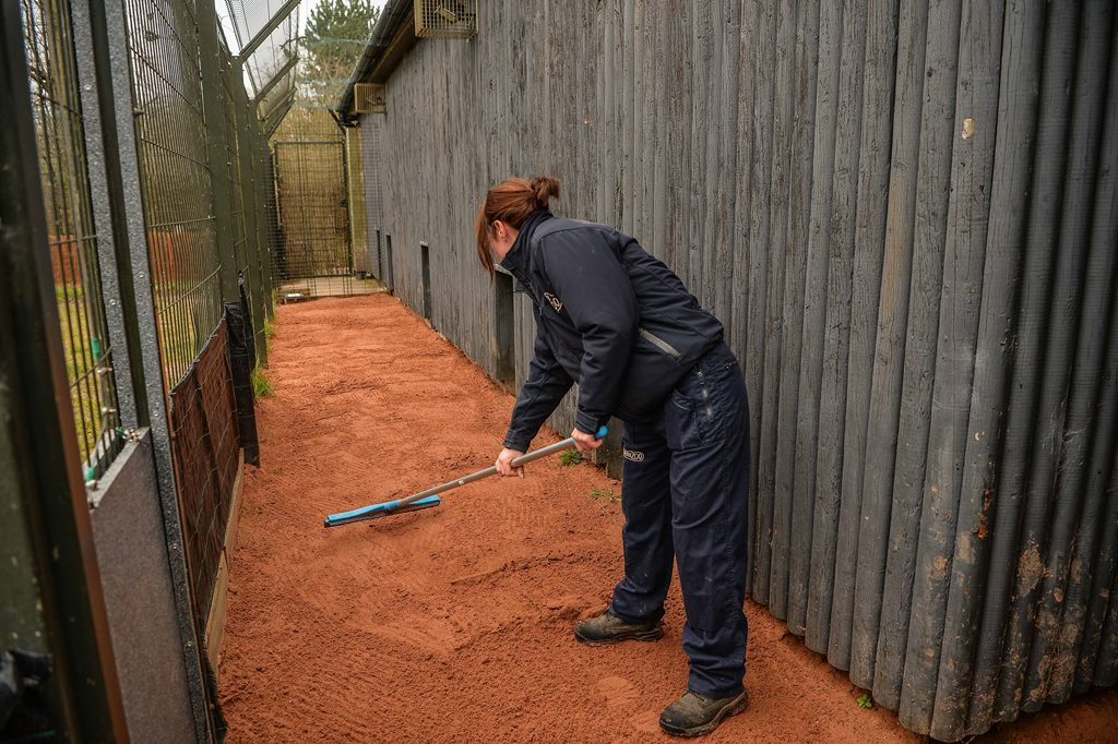 Chester Zoo staff member flattening sand ready for cheetah