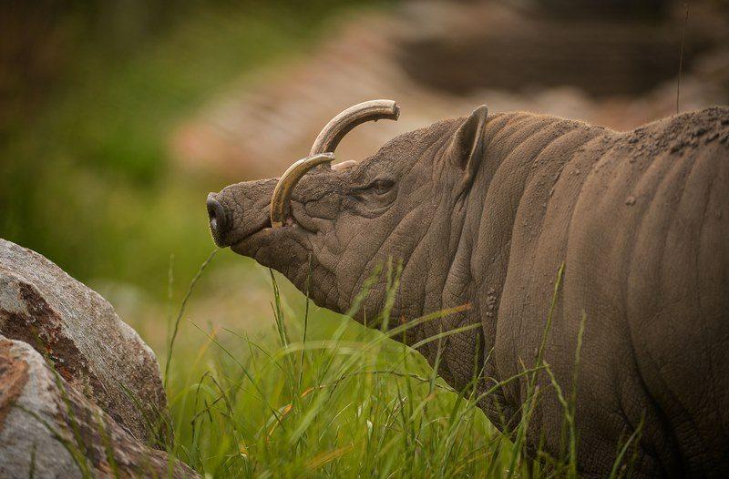 close up of a babirusa