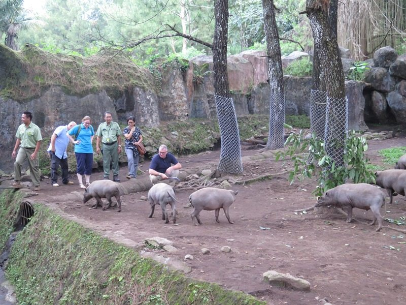 Chester Zoo staff visiting Indonesian zoo and looking at babirusa
