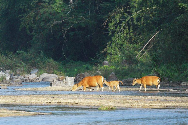 Three banteng in the wild walking across a stream