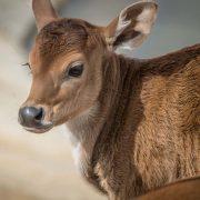 Banteng | Chester Zoo