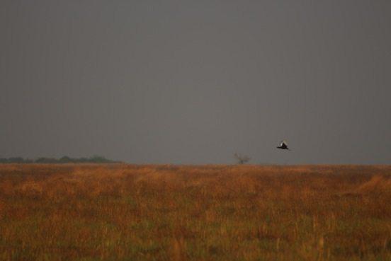 Bengal florican in flight across grasslands