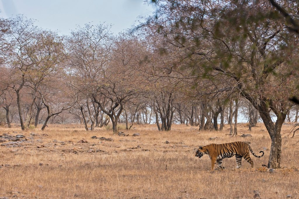 Wild tiger walking through the dry bush forests of Ranthambore national park on a winter morning