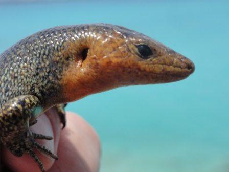 Close up of Bermuda skink