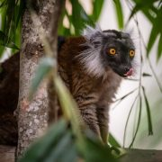 Black Lemur | Chester Zoo