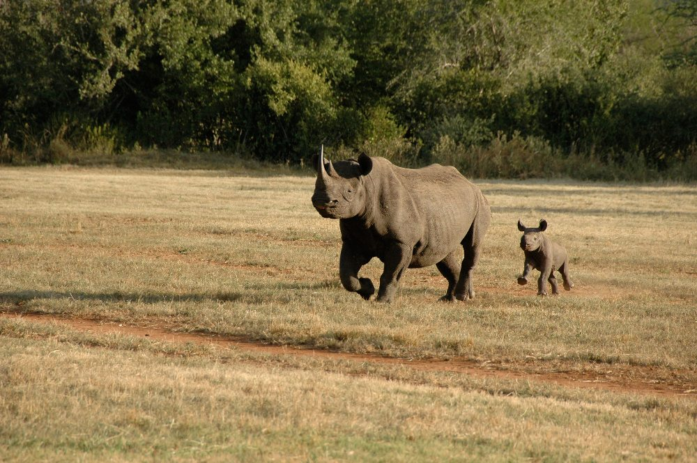 Black rhino and its calf running across field in Africa