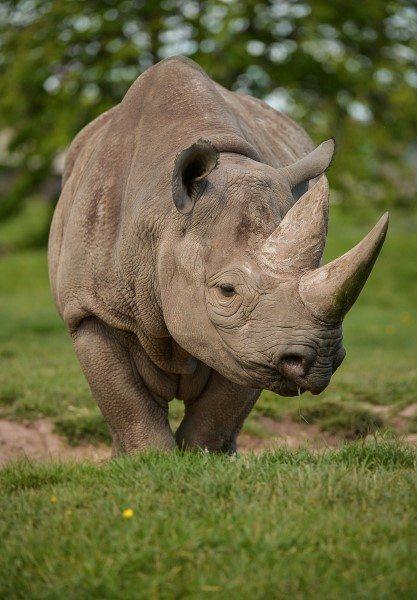 BlackRhino (5)