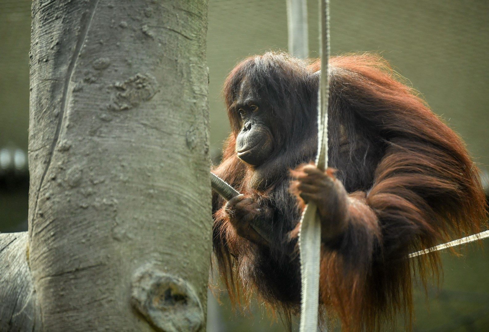Bornean orangutan at Chester Zoo