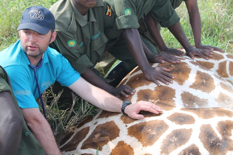Chester Zoo staff in the field putting GPS collar on giraffe