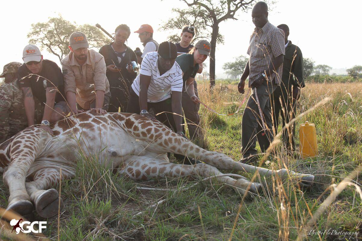 GPS collar being put on giraffe in field