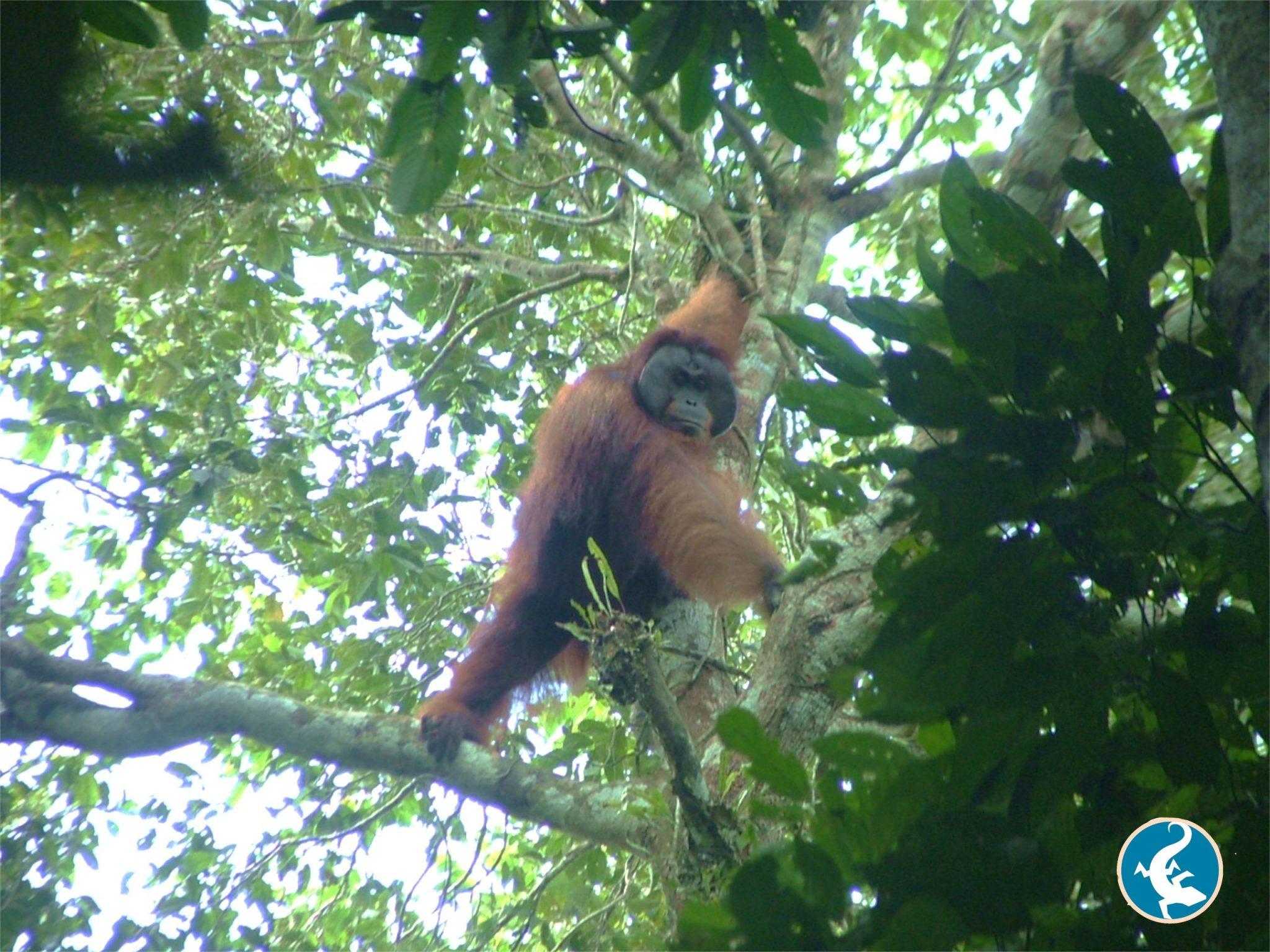Bornean orangutan in tree in the wild