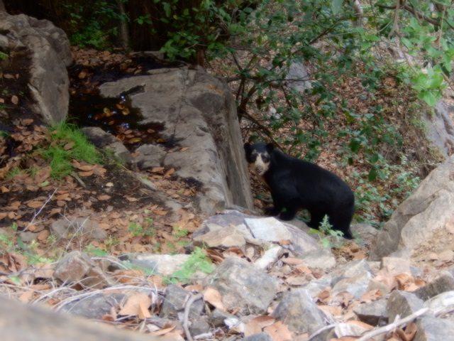 Andean bear looking at camera