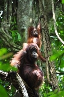 Bornean orangutan with young in trees