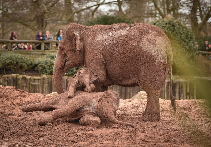 Asian elephants at Chester Zoo