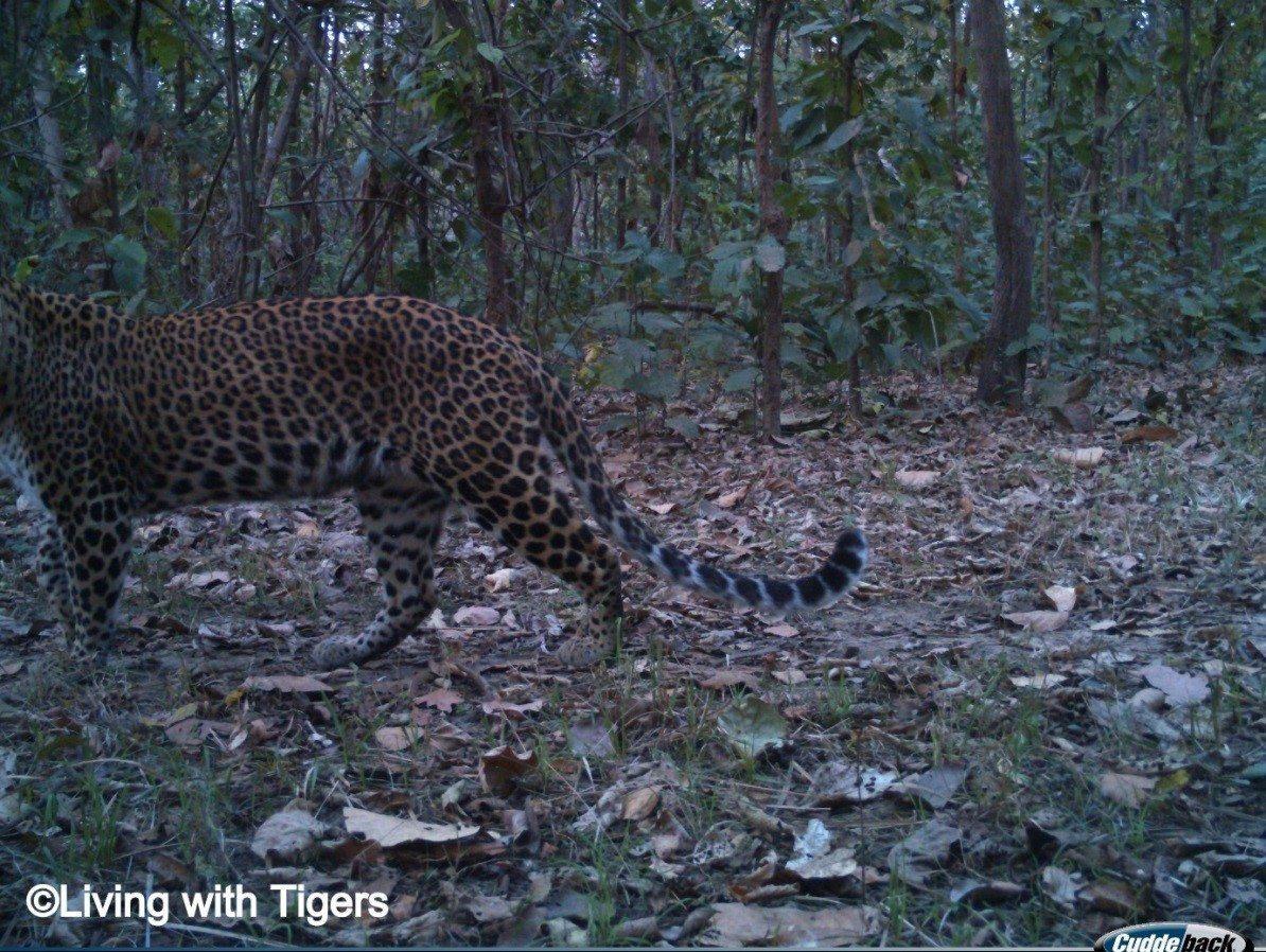 Female common leopard LwT