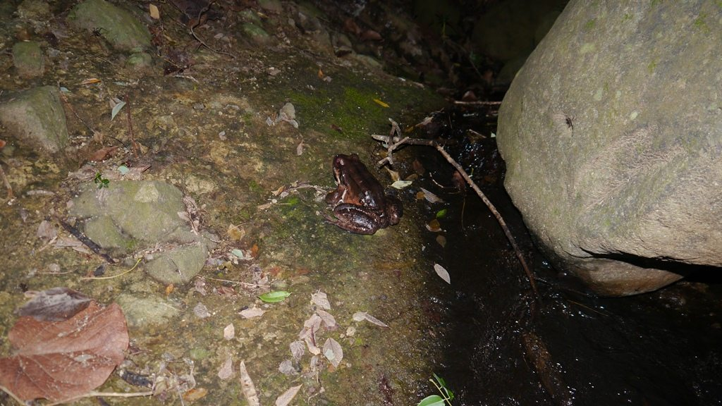 The last female mountain chicken frog on the island, in the males territory