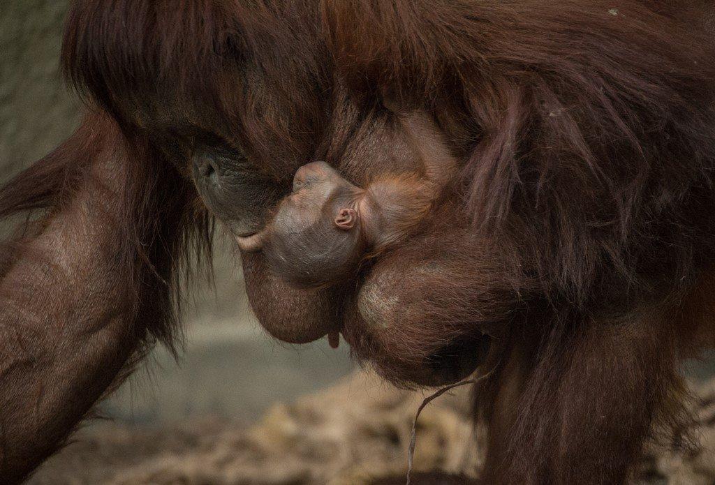 Baby orangutan at Chester Zoo
