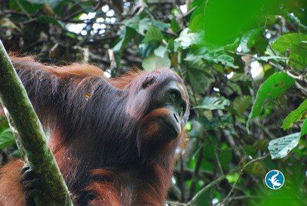 Bornean orangutan up in tree