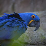 Hyacinth Macaws | Chester Zoo