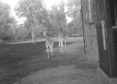 Giraffe at Chester Zoo caught on camera trap