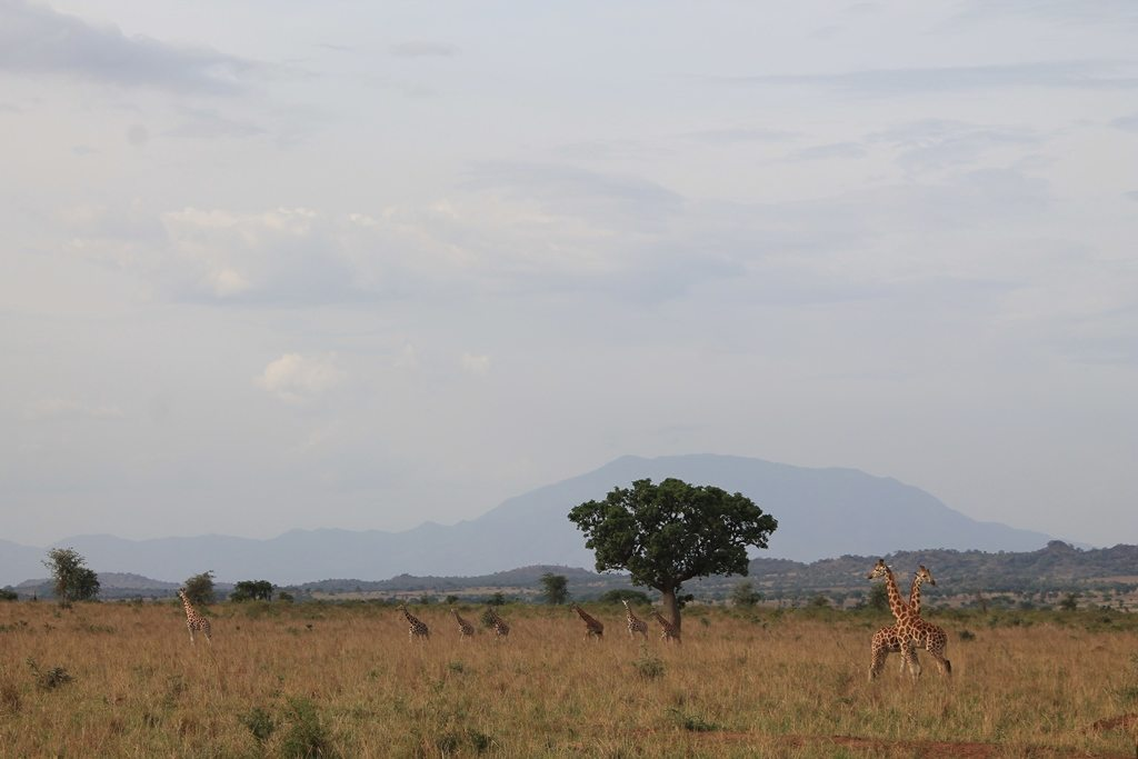 Landscape of Kidepo National Park with giraffe in foreground