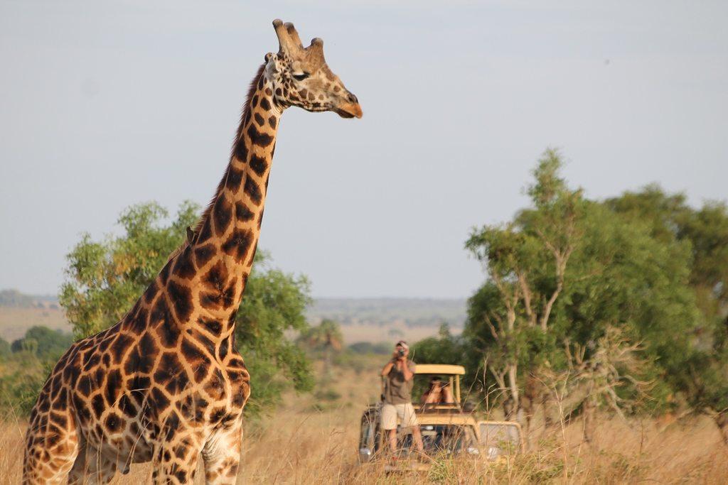 Rothschild giraffe in the wild