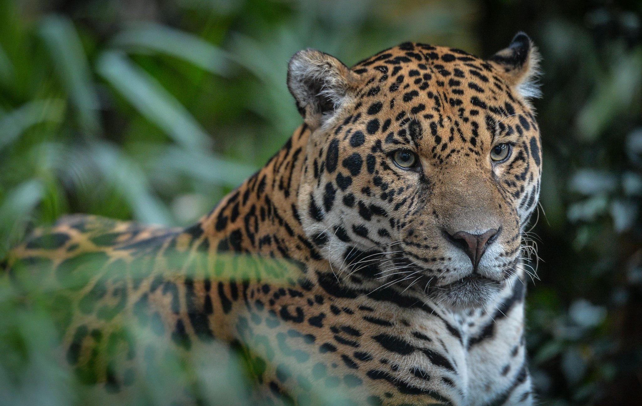 Close up of jaguar at Chester Zoo