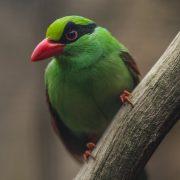 Javan Green Magpie   Chester Zoo